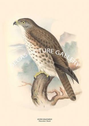 BUTEO SOLITARIUS - Hawaiian Hawk